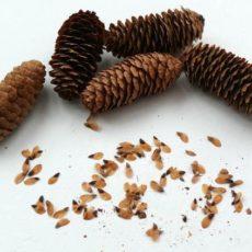 Семена хвойных культур