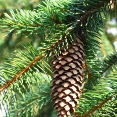 Ель (Picea)