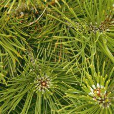 Сосна (Pinus )
